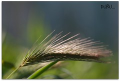 Bekle Buday Tanesi... (Duru...) Tags: macro green nature grass dof wheat istanbul makro ot yeil duru buday grouptripod