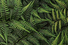[フリー画像] [植物] [葉っぱ] [シダ] [緑色/グリーン]       [フリー素材]