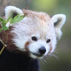 Red Panda (Gary Wilson แกรี่ วิลสัน) Tags: ireland red dublin nature animal canon mammal eos zoo panda wildlife 50d itsazoooutthere vosplusbellesphotos