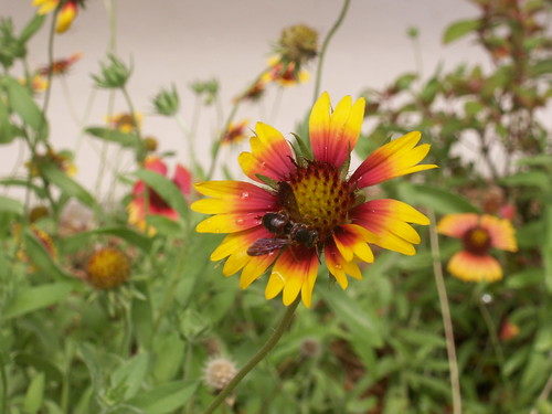 Gaillardia 3 With Wasp at Whispering Pines Park