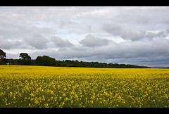 The Yellow Field (Gareth Weeks) Tags: flowers trees summer nature yellow canon scotland farm weeks gareth inverkeithing