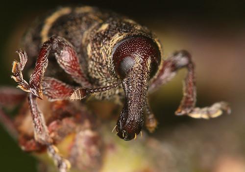 Жижак Hylobius abietis (аутор Lukjonis)