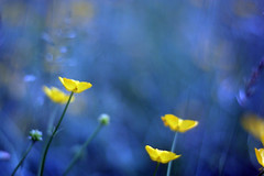 abstract (ginnerobot) Tags: blue abstract blur buttercups whydoesflickralwaysfadethecolors
