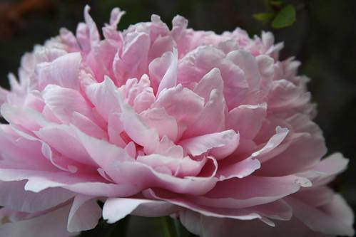 pink peonies2
