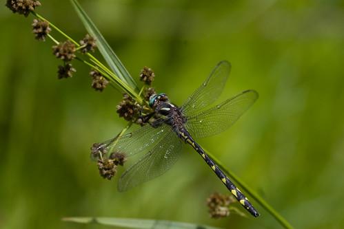 Spiketail