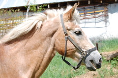 Kate, 27 ans / 27 years old. (Feluniel) Tags: horses canada cheval quebec chevaux belge feluniel