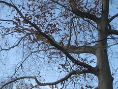Beech (geneva_wirth) Tags: grandiflora fagus americanbeech