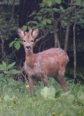 junger Rehbock (proefdier) Tags: canon deer reh erzgebirge rehbock 50d ef100400l waldkirchen mörbitz
