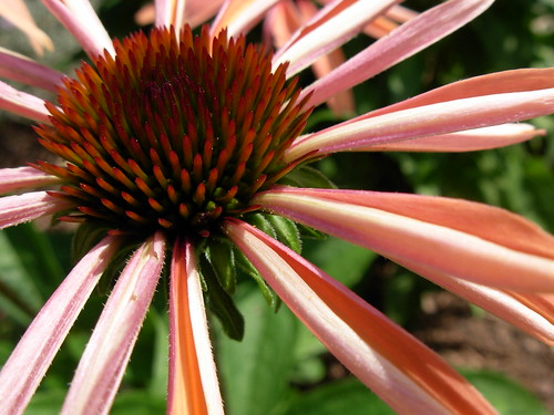 SHINE--- emerging coneflower in salmon