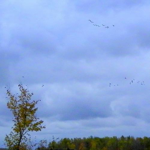 Last Flock of Geese