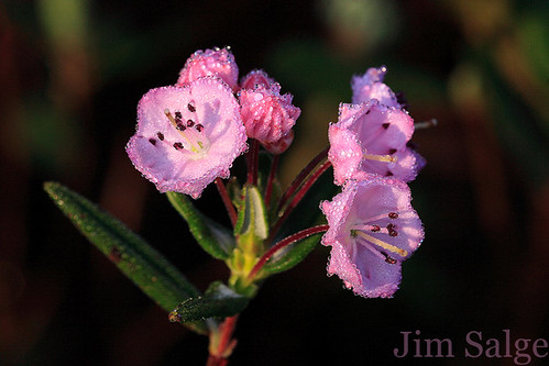 Dew on Bog Laurel...More Flowers To Come