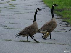 Canadian Geese and Gosling by SpeedyJR (SpeedyJR) Tags: nature birds geese wildlife indiana goose gosling canadiangeese waterfowl canadagoose beverlyshoresindiana speedyjr