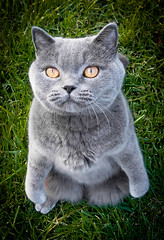 Race de chat chartreux