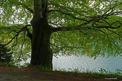 Symphony in green (dorena-wm) Tags: lake tree green water bayern bavaria see wasser oberbayern grn ste bltter baum walchensee stamm oberland mygearandme dorenawm