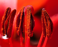 Red Lilly, Sex on a Stick (Ian Hayhurst) Tags: red dof can stack lilly canonef100mmf28macrousm