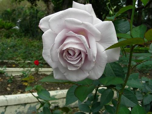 士林官邸-紫玫瑰