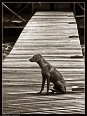 Un viejo amigo / An old friend (drlopezfranco) Tags: old dog animal sepia amigo muelle dock friend guatemala perro viejo livingston izabal bnbw