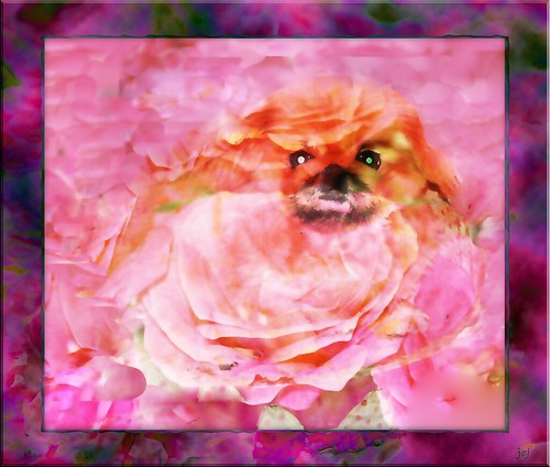 GOLDIE ON A BED OF PINK ROSES