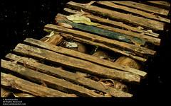 (Neelakandan | www.neelakandan.com) Tags: wood bridge india water kerala fallenleaves mywinners