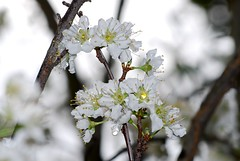 A Break In The Rain (jnoriko) Tags: flowers white flower tree nature beauty branch blossoms waterdrops plumblossoms