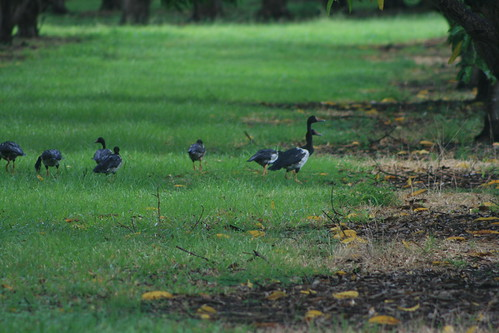 Magpie Geese orchard  Knuckey's Lagoon
