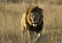 Notch! (Lyndon Firman) Tags: africa kenya lion bbc notch masaimara pantheraleo bigcatdiary
