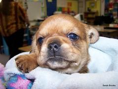 Jenny (121/365) (LittleRedCera) Tags: school baby cute puppy student sweet jenny day121 project365 littleredcera