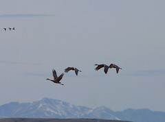 SANDHILL CRANES TAKING FLIGHT (Aquila-chrysaetos) Tags: snow ice birds animals frozen cranes greatsaltlake northamerica b2 greatbasin ogdenbay birdstwo