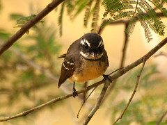 Another Beautiful Bird In The Australian Bush - A Grey Fantail (ianmichaelthomas) Tags: friends birds victoria warrandyte birdwatcher smorgasbord kookaburras kingfishers animaladdiction goldenmix australiannativebirds australia wildlifeofaustralia worldofanimals auselite naturewatcher wonderfulworldmix warrandytevictoriaaustralia warrandyte poundbend warrandytestatepark wildandfree vosplusbellesphotos laughingkookaburras