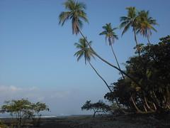 Palm trees along Mal Pais beach