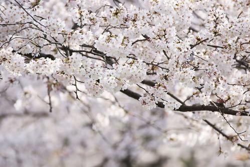Sakura 2009@Edogawa Tokyo