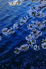 (chikache) Tags: flowers blue water japan river petals spring nagoya sakura 50mmf14