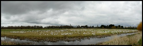 Panorama View of Snow Geese