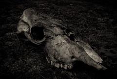 The skull (Kritisk massa) Tags: skull cow pentax ko skalle pentaxk10d justpentax smcpda35mmf28