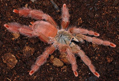 lutte araignée rouge