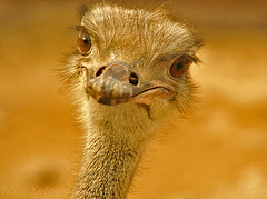 ..Ostrich (Maryam.Ibrahim) Tags: fab bw brown eye animals zoo sony ostrich dslra100  vosplusbellesphotos
