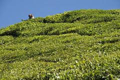 DSC_0254 (zoea1) Tags: india leaves tea teaplantation teapicker