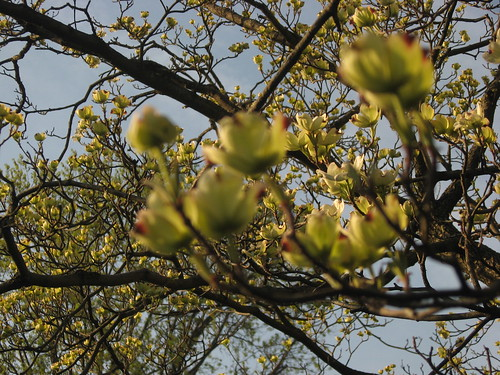 Dogwood Flowers Emerge by you.