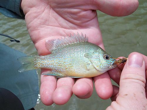 Long Ear Sun Fish