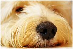 The best time for a nap is ANY time! (Now and Here) Tags: usa dog cute hair puppy fur nose nc furry fb sony adorable northcarolina highpoint explore shaggy alpha dslr fp frontpage mostviewed a300 explorefrontpage view500 fave5 fave10 fave50 sonydslra300 fave25 nowandhere davidfarrant gettysubmissionsfeb2010