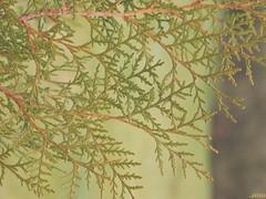 Cupressus funebris 02 (My Morton Arboretum Images) Tags: cypresses