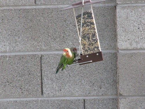 The peach faced lovebirds came back yesterday!