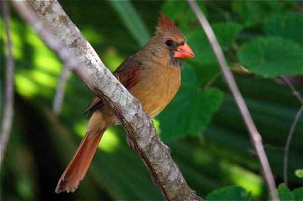 female_cardinal_0033