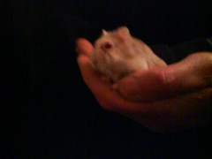 Toby looking at something (ikieran97) Tags: toby hamsters