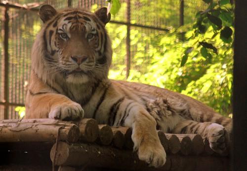 Tigru Zoo 1