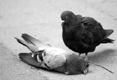 if doves could cry... (jens.lilienthal) Tags: bw white black bird birds germany dead death pigeon dove pigeons hamburg blacknwhite vgel taube tot tod eimsbttel doves vogel tauben toter