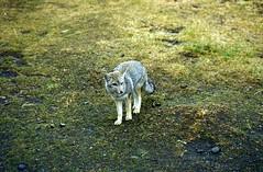 Grey fox (wallygrom) Tags: chile patagonia fox torresdelpaine greyfox puertonatales canis parquenacionaltorresdelpaine chileanpatagonia