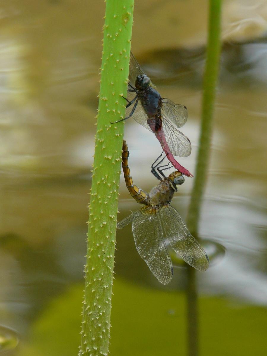 Red-bellied Skimmers (Orthetrum pruinosum neglectum) - 霜白蜻蜓