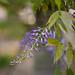 Un ramoscello di violette