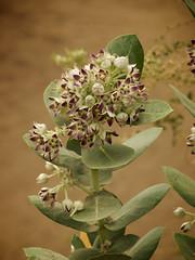 tiers (DarinAZ) Tags: arizona flower phoenix zoo apocynaceae procera calotropis